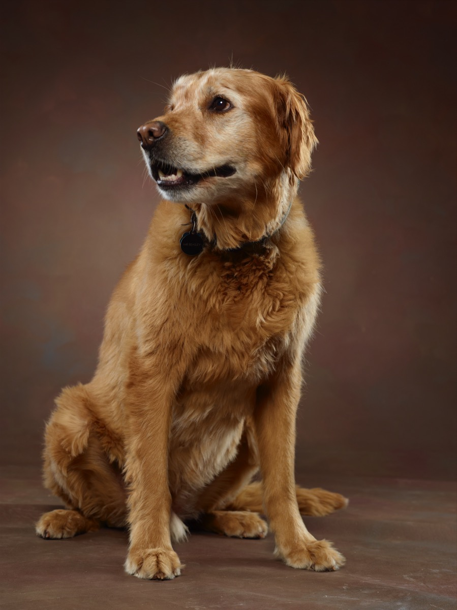 Golden Retriever - Pet Photography by Kevin Eilbeck