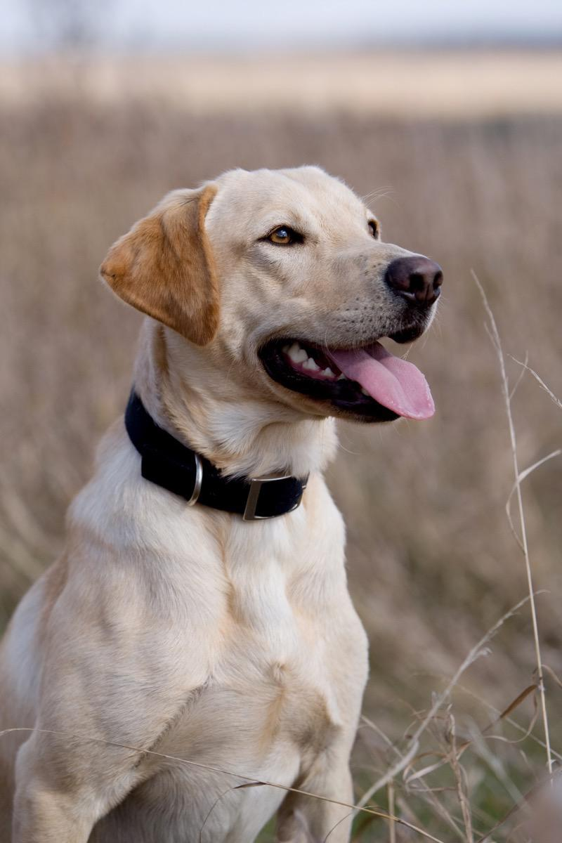 Yellow Lab - Pet Photography in Rapid City, SD by Kevin Eilbeck